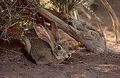 Cape Hare under an Atil Sahara Tenere region Niger