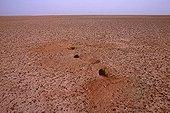 Rüppell's fox dens on a stony reg Tenere region Niger