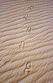 Round tracks of Addax Sahara Tenere region Niger