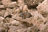 Gundi coming out of its rock shelter Sahara Tunisia