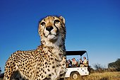 Tourists in safari vehicle watching a cheetah in the grass