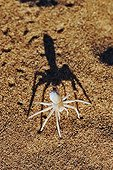 Dancing White Lady Spider Namib Desert Namibia ; These spiders are well known for their wandering nature. After wandering for up to 90m from the nest across open, featureless dunes of the Namib Desert, they will return in a more direct path