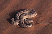 Horned viper in defensive position Tenere region Niger ; Scraping its scales against one another, thus producing a sharp sound.