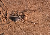 Camel spider on sand Tenere region Niger ; After a copious meal.