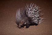 Crested porcupine searching for food Sahara