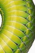 White-lipped Green Pit Viper