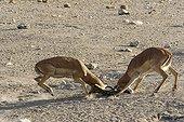 Male Black-faced Impalas fighting Etosha National Park