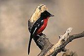 Crimson-breasted Gonolek on branch Kalahari NP