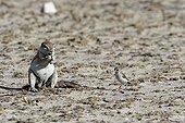 South african Ground squirrel and Passeriforme bird Etosha
