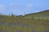 Blue cranes walking South Africa
