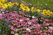 Lawndaisy Violet and Myosotis Floor flowered Ribeauvillé