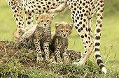 Young Cheetahs sitting between legs of their mother Kenya