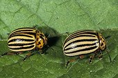 Pair of Colorado beetles on a sheet France