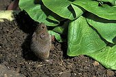 Common vole close to a salad France