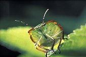 Portrait of a Green shield bug France