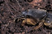 Portrait of Mole cricket in the ground of a garden France