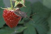 Bug on a Raspberry France