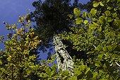 Sapin s'élançant au-dessus des feuillus Ballons des Vosges