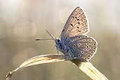 Silver-studded blue on a leaf Lorraine Regional Nature Park