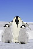 Emperor penguin on ice with two youngs Antarctica