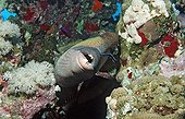 Symbiosis enters a Moustache trifferfish and cleaner wrasse