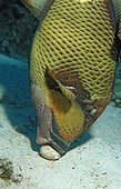 Moustache trifferfish eating an shell Egypt