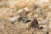 Squirrel of Babaria on Fuerteventura island Canary island