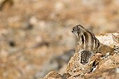 Squirrel of Babaria on Fuerteventura island Canary island