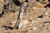 Squirrel of Babaria watchful in Fuerteventura Canary island