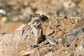 Squirrel of Babaria watchful Fuerteventura Canary island