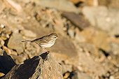 Pipit on a rock Fuerteventura island Canary island ; The most widespread and least savage of the Fuerteventura's island sparrows, Canary island, Spain.