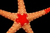 Detail of a red starfish Maldives