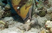 Triggerfish olivâtre eating a shell Egypt