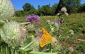 Butterfly foraging on Bull Thistle Aubrac Lozère France