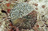Sick Mushroom coral pushing on the coral Indonesia