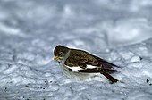 White-winged Snowfinch eating on snow Switzerland