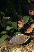 Poisson arc-en-ciel en aquarium d'eau douce tropicale