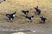 House martin picorant on the ground