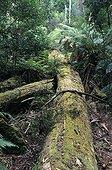 Tronc d'arbre pourrissant en forêt primaire humide Tasmanie