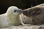 Tenderness between Gray seal whitecoat and mother Germany ; Localization: Helgoland.