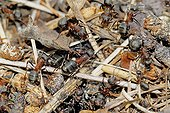 Southern wood Ants working on Ant-hill France