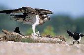 Osprey intimidating a Black-billed Magpie France ; Loire riverside.