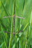 Crane flies mating Loire-Atlantique France