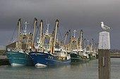 Goéland posé sur un poteau dans un port Texel