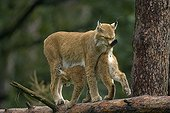 Tenderness scene between a young and a mother eurasian Lynx