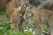 Tenderness scene between two eurasian Lynx young