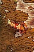 Imperial shrimp on a Sea cucumber Manado Indonesia ; Site : Island of Bunaken