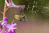Weaver spider wraping up a bee