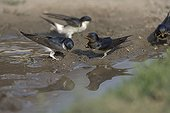 Barn Swallows and house Martins collecting nesting material