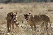 Couple of Lions threatening Ruaha Tanzania